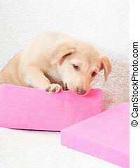 junger hund, in, a, rosa, kasten