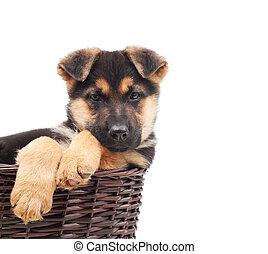 junger hund, in, a, weidenkorb
