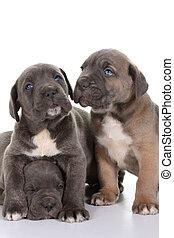 junger hund, italienesche, dogge, krückstock, corso
