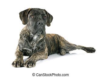 junger hund, krückstock, corso