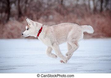 junger hund, läufe, durch, der, schnee