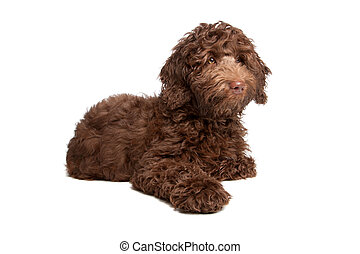 junger Hund,  labradoodle