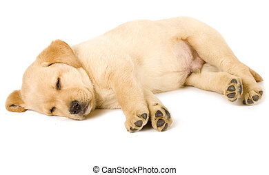 junger Hund,  labrador, Apportierhund, eingeschlafen