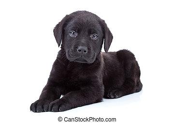 junger Hund,  labrador, Apportierhund