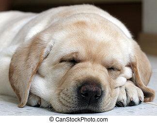 junger hund, labrador, eingeschlafen