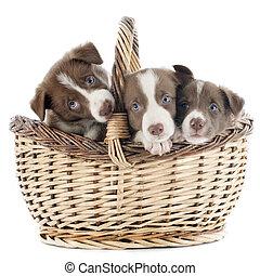 junger hund, rand- collie, in, korb