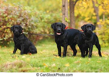 junger Hund, Schwarz, drei,  labrador