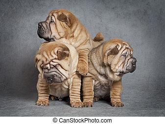 junger Hund,  sharpei, hunden