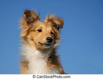 junger hund, shetland sheepdog