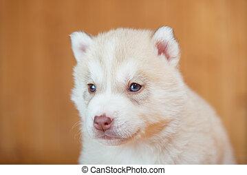 junger hund, sibirischer schlittenhund