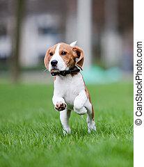 junger hund, springende , und, rennender