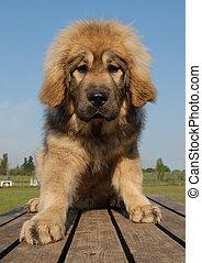 junger hund, tibetische dogge