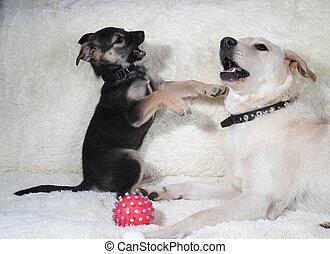 junger hund, und, hund, spielende , auf, pelz, sofa
