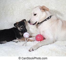 junger hund, und, hund, spielende , weiß, sofa