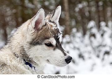 junger hund, von, sibirischer schlittenhund, hund