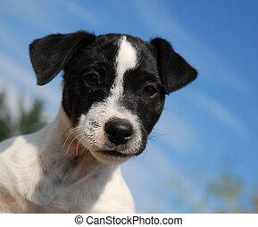 junger hund, wagenheber, russel, terrier