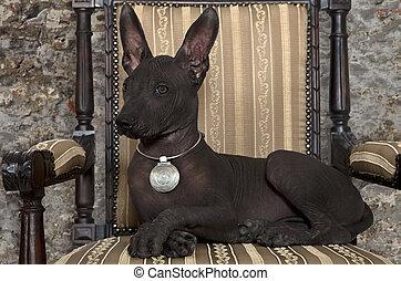 junger hund, xoloitzcuintle, mexikanisch