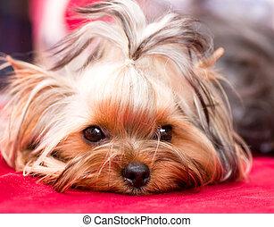 junger hund, yorkshireterrier