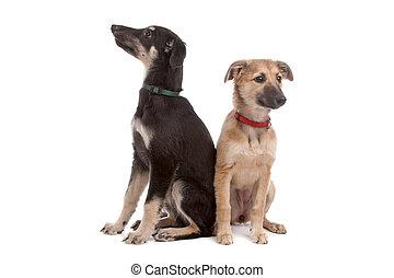 junger hund, zwei, whippet, hunden