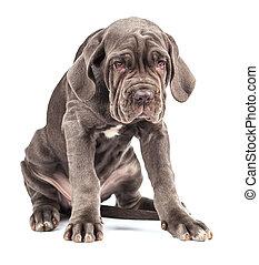 junger, junger hund, italienesche, dogge, krückstock, corso,...