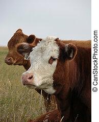 junger, kühe