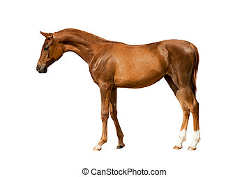 junger, kastanie, pferd