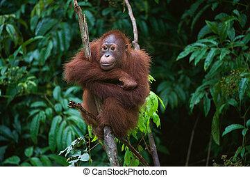 junger, orang utan, auf, der, baum