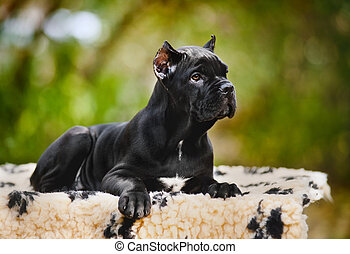 junger, schwarz, krückstock, corso, junger hund, liegen,...