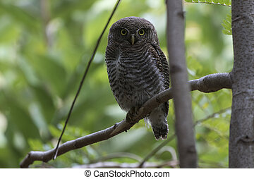 jungle owlet who sits on a tree branch in the forest more often on a wintery cloudy day
