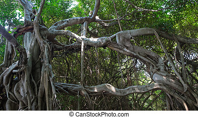 jungle., vie, banian, très, grand arbre