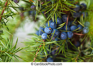 Juniper berries - Juniper on the bush. Close up berries in...