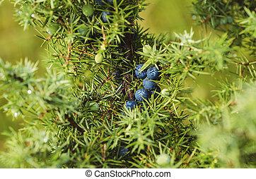 Juniper berries on the tree