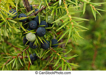Juniper berry - close up of the junipers berry