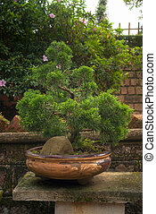 Juniper Bonsai in Tradition Pottery