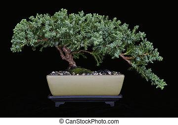 Juniper Bonsai on Black No 1