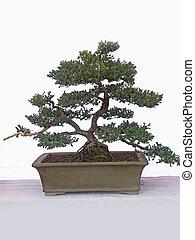 Juniper Bonsai Tree, Japanese garden juniper