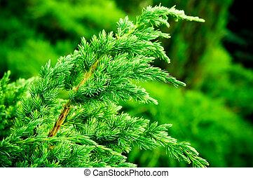 juniper branch closeup