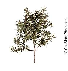Juniper branch (Juniperus oxycedrus