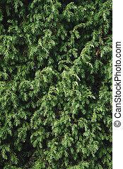 Juniper bush closeup. Evergreen juniper background. Coniferous bush texture