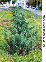 Juniper bush in a park