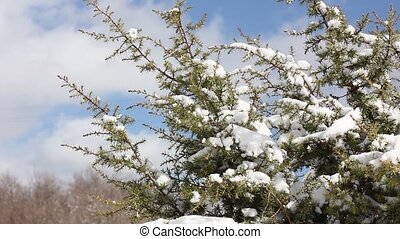 juniper bush with snow in the wind