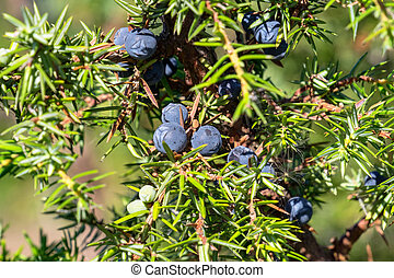 Juniper cones - Green juniper branch with ripe blue berries