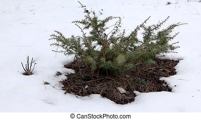 Juniper in winter on the mountain
