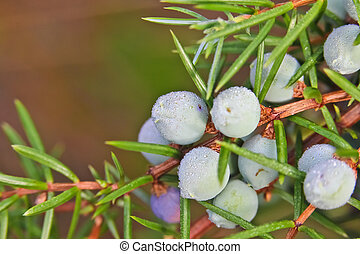 juniper on a bush, with rain drops
