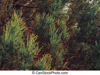 Juniper - Close-up image of green juniper