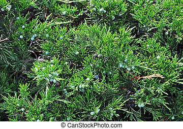 Juniper plant with fruit - Green juniper plant with ripe...