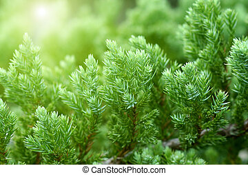 Juniper Shrub in the garden. (Juniperus horizontalis...