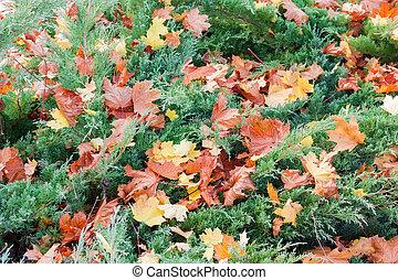 Juniper shrubs covered with fallen autumn leaves
