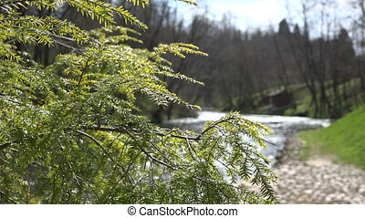juniper tree branch and reflections on flowing river water....