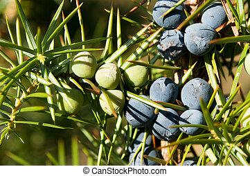 Juniper Tree. Juniper with berries. Plant, fruit
